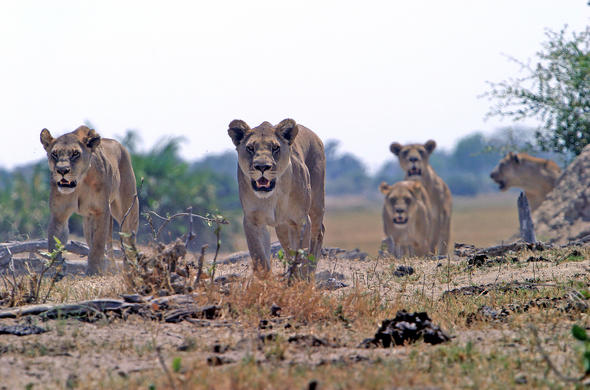 Linyanti is renowned for its many Lion prides and other predators.