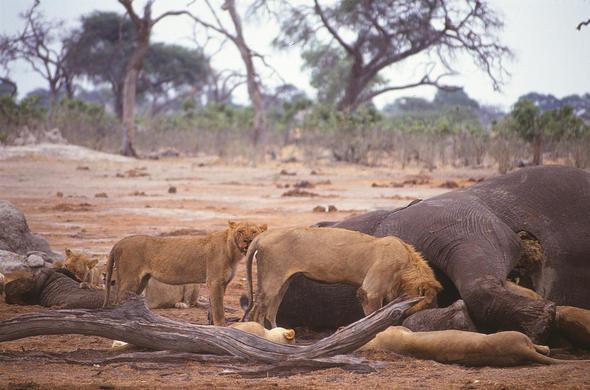 Elephant Killers of Botswana | Savute Wildlife Guide