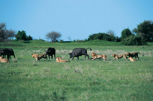 Lions and Buffalo. Duba Plains
