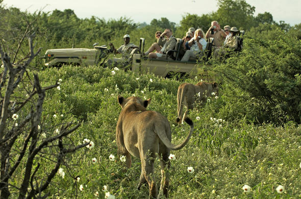 Lions in Tuli Reserve