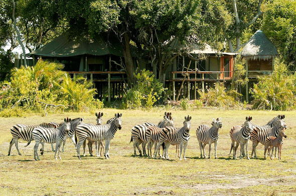 Zebra spotted at Little Mombo Camp.