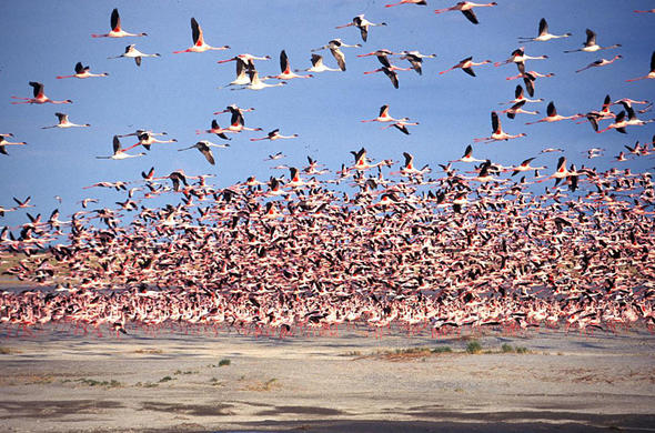 Flamingoes at Nata Bird Sanctuary. Makgadikdadi