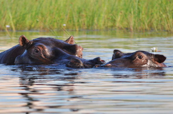 Hippo in the Okavango Delta waterways.