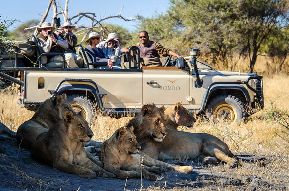 Spotting Moremi lions up close during an open safari vehicle game drive.