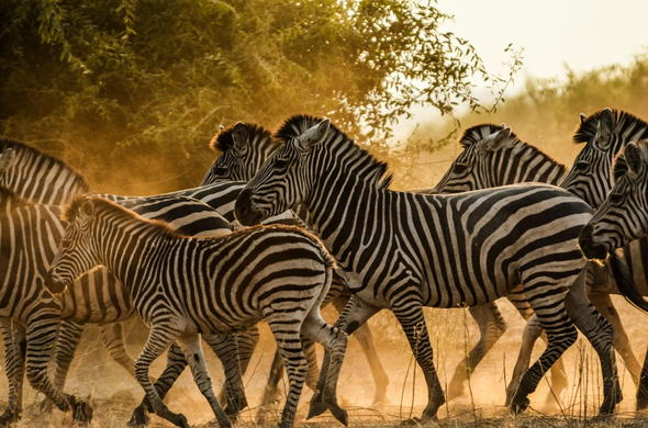 Zebra of Chobe National Park.