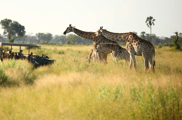 Encountering giraffes during a morning game drive in Botswana.