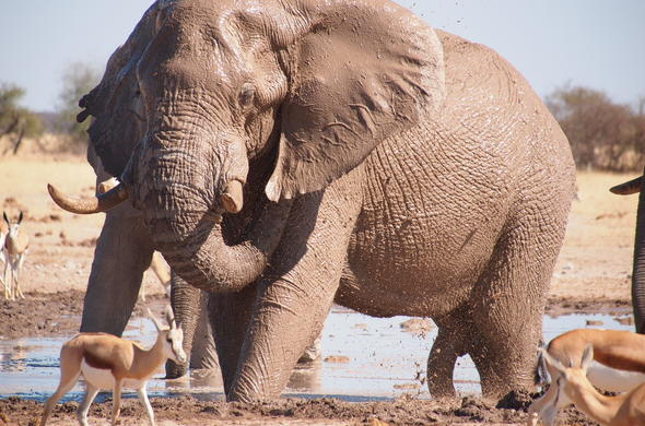 Elephant and antelope playing in the mud near Nxai Pan.