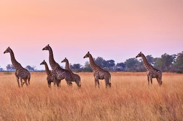 A tower of giraffe.