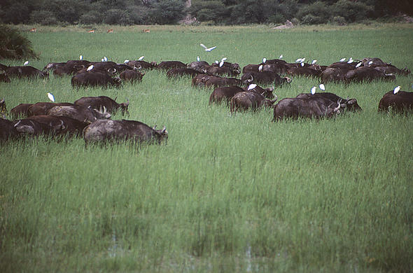 Buffalos in long green grass. Lee Kemp