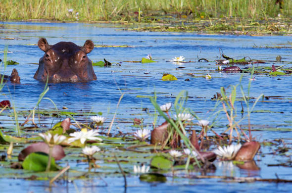 Hippo hiding in the Okavango Delta.