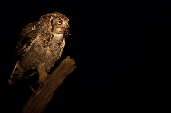 Pels Fishing Owl. Richard Miller
