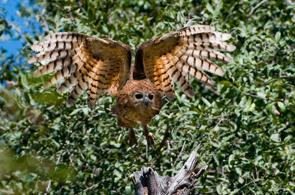 Pels Fishing Owl. Xigera Camp