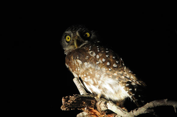 Pels Fishing Owl.  Graham Cooke
