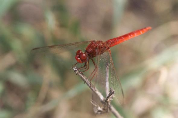 Red dragon fly. Michael Poliza