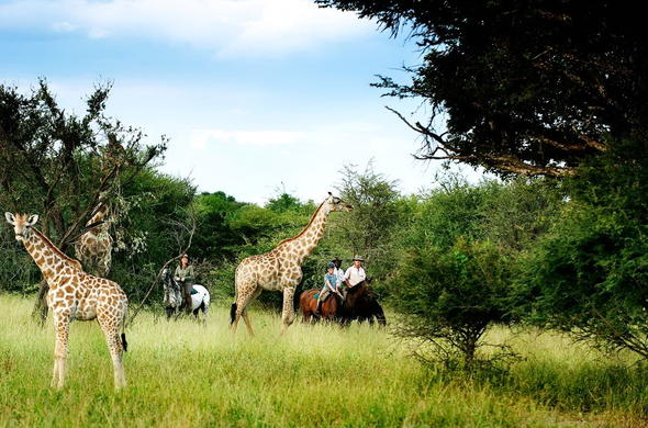 Giraffe interaction on a horse riding safari.