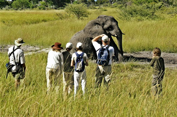 Elephant walking safari in Botswana.