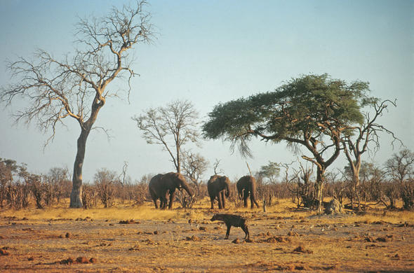 Elephants in the dry Savute summer.