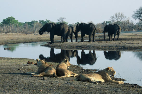 Elephants and lionesses at Chobe. Graham Hancock
