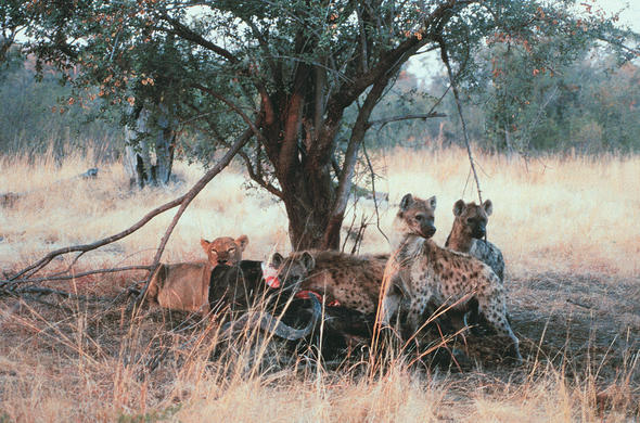 Hyenas and lion at same kill