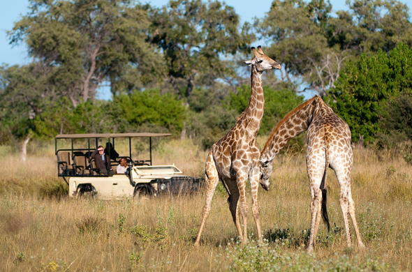 Game drive to spot Giraffes in Savuti.