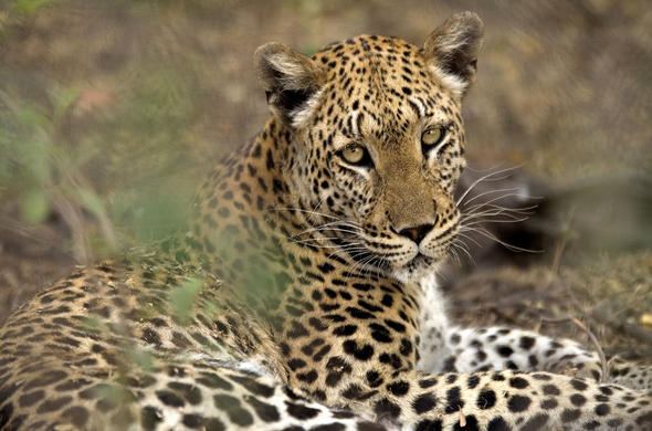 Leopard sighting on a Savuti Camp game drive.