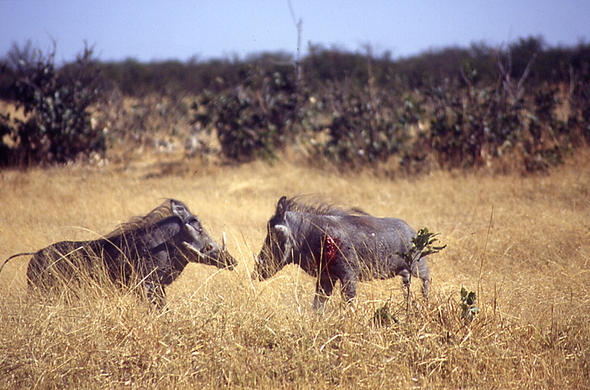 Sparring Warthogs fight for turf. Lee Kemp