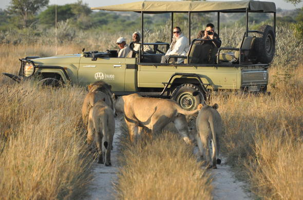 Spotting a pride of lions during an open safari vehicle game drive.