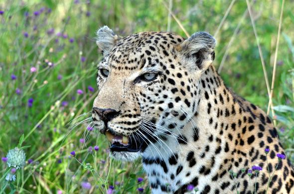 Leopard lurking in the plains.