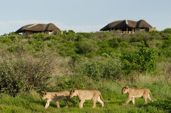 Lion cubs located near Tau Pan Camp.