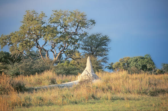 Termites are the master engineers of the Okavango