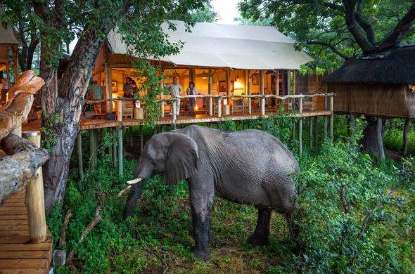 Elephant roaming Tubu Tree Camp.
