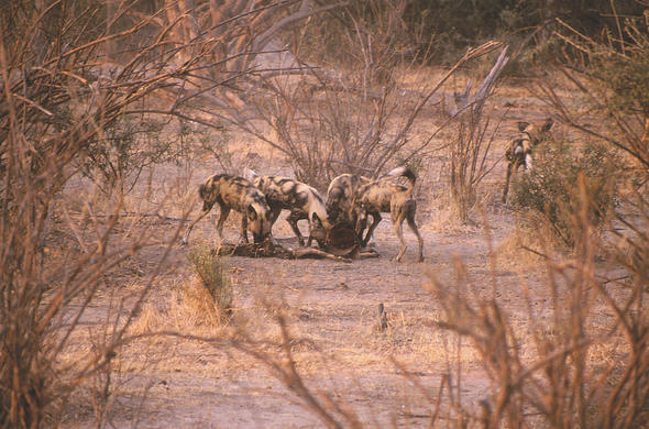 Wild dogs with kill. Lee Kemp