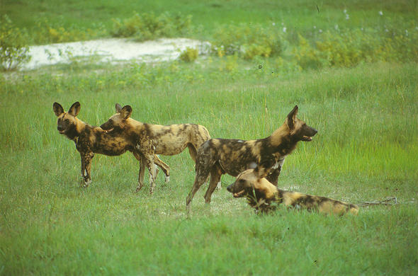 Wild dogs on the Plains