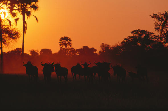 Wildebeest in a hot dusty sunset. Lee Kemp