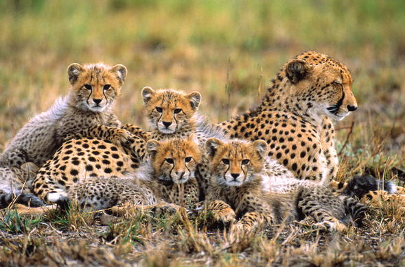Cheetah cubs with their mother spotted on a game drive.