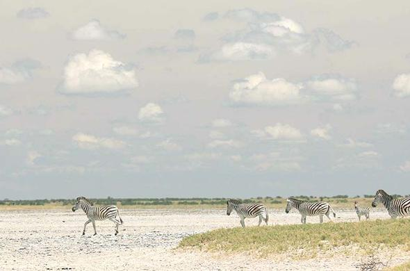 Zebra head out onto the Makgadikgadi pans