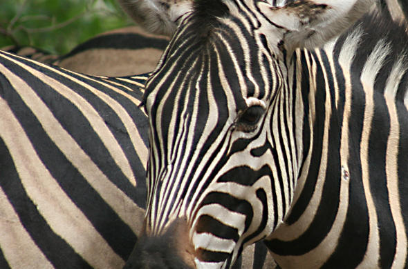 Zebra close-up. Lee Kemp