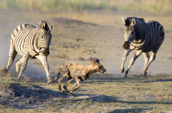 Zebra's see off a wild dog at Savuti Camp